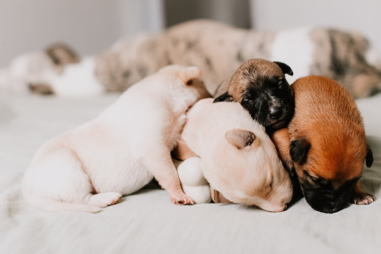 Стимуляция родов у собак