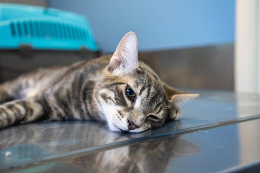 Виды анестетика для кошек