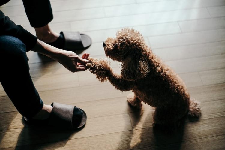 С какого возраста учить собаку команде «Дай лапу»