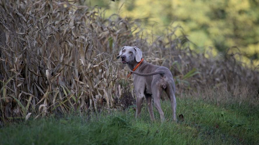 Осложнения при воспалении параанальных желез у собак
