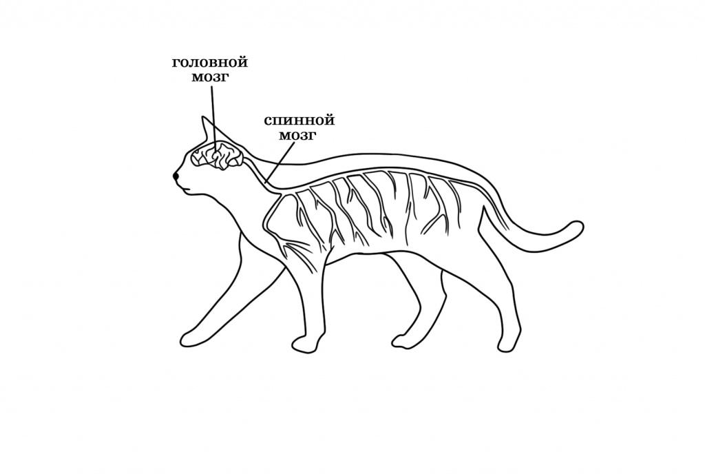 Нервная система кошки