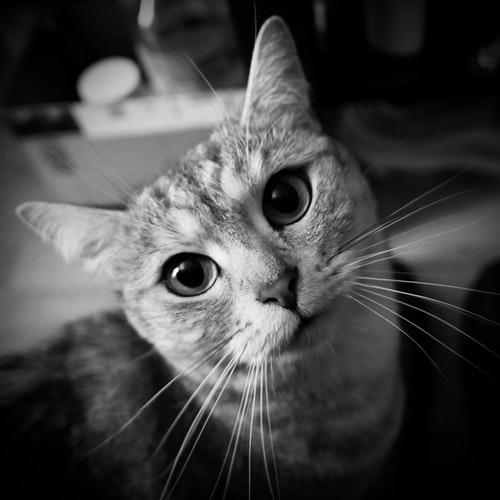 Почему некоторые кошки не мурлыкают