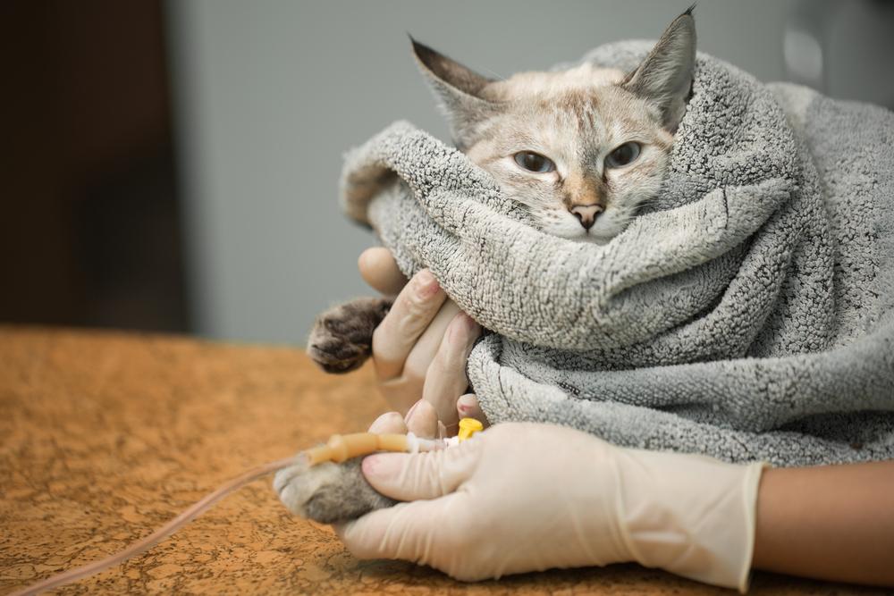 Кот дергает хвостом из-за судороги или тремора