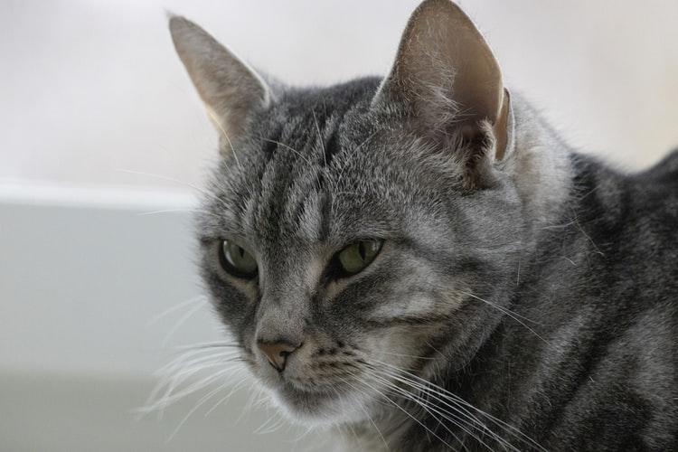 Кто еще из семейства кошачьих умеет мурчать?