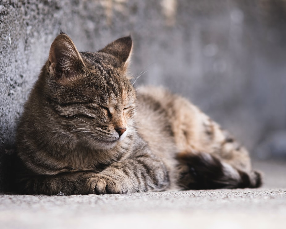 Характеристика сердечной недостаточности у кошек