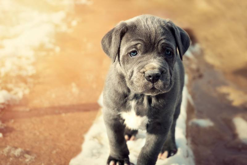 Советы по выбору щенка мастино неаполитано