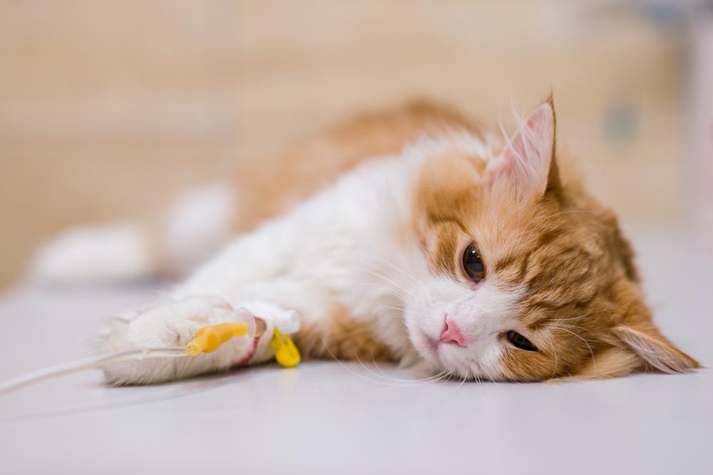 Подготовка кошки к операции