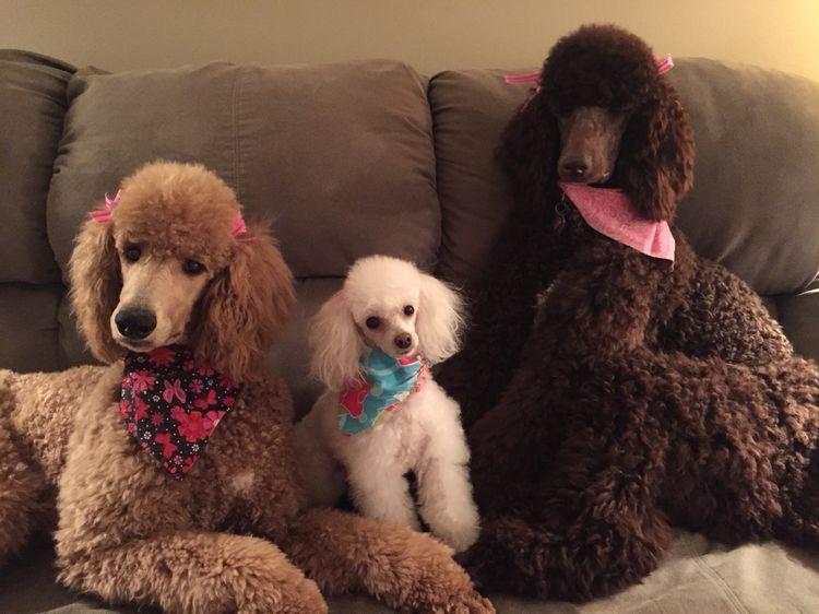 чем фото семьи с собакой пудель высшим