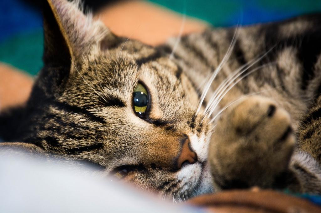 Требования к шерсти как критерий при выборе кошки