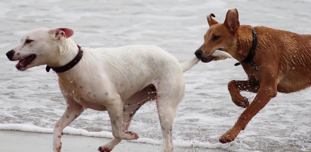 мифы и правда о купировании хвоста у собак