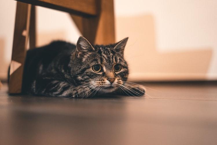 Кошки-рекордсмены