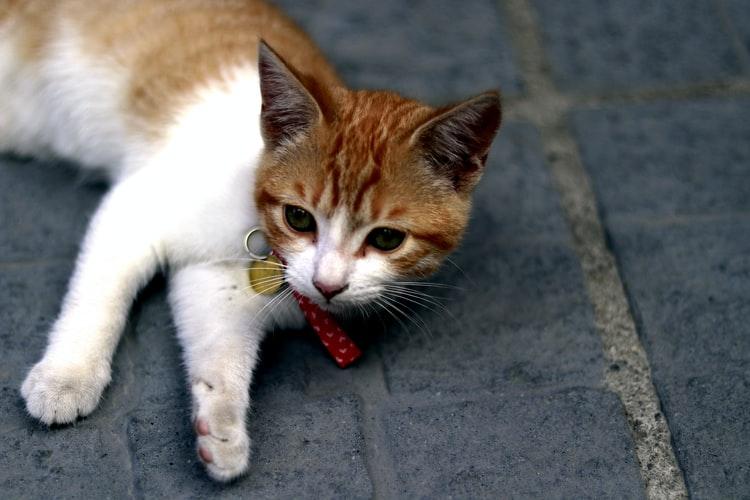 Как проглистогонить кошку при симптомах заражения глистами