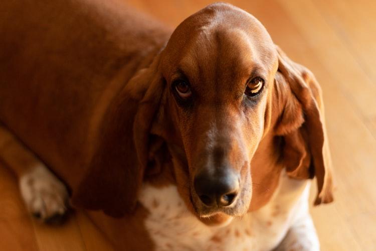 Болезни глаз и ушей у собак