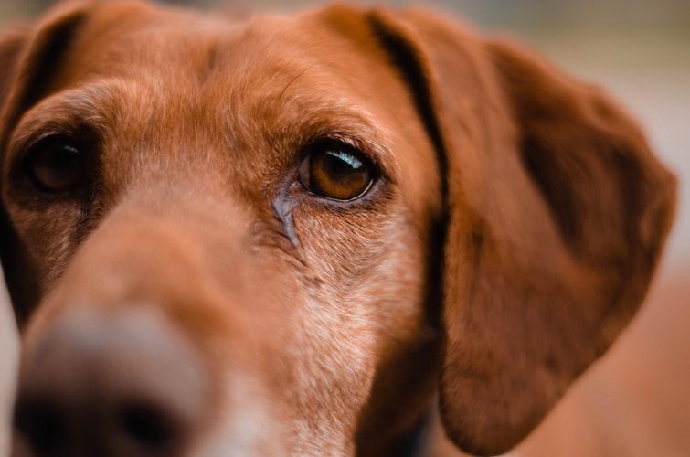 У собаки гноится глаз из-за отита