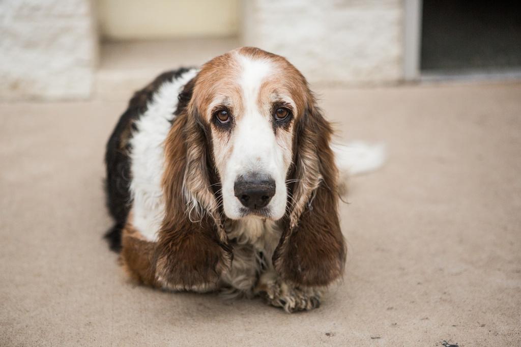 Частота чистки у собак с длинными ушами