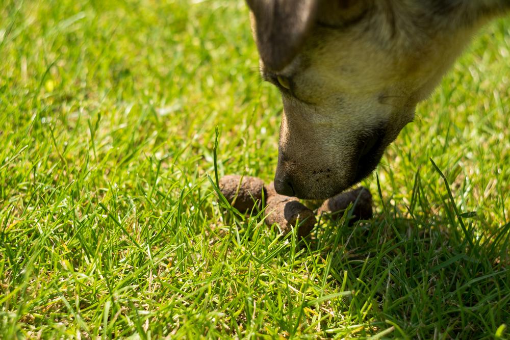 Что опасного в том, что собака ест кал