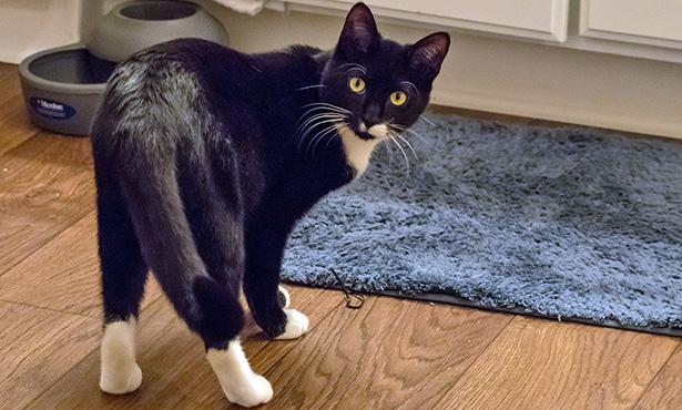 Особенности укола коту внутримышечно