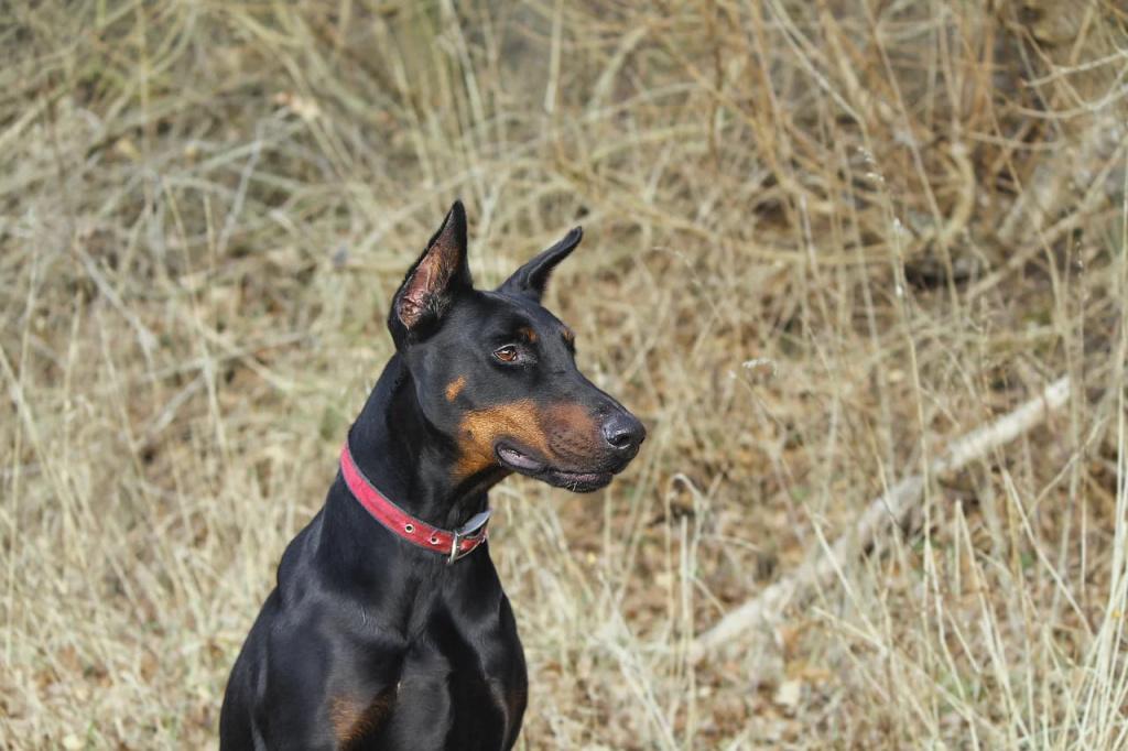 Топ лучших пород собак для охраны: доберман