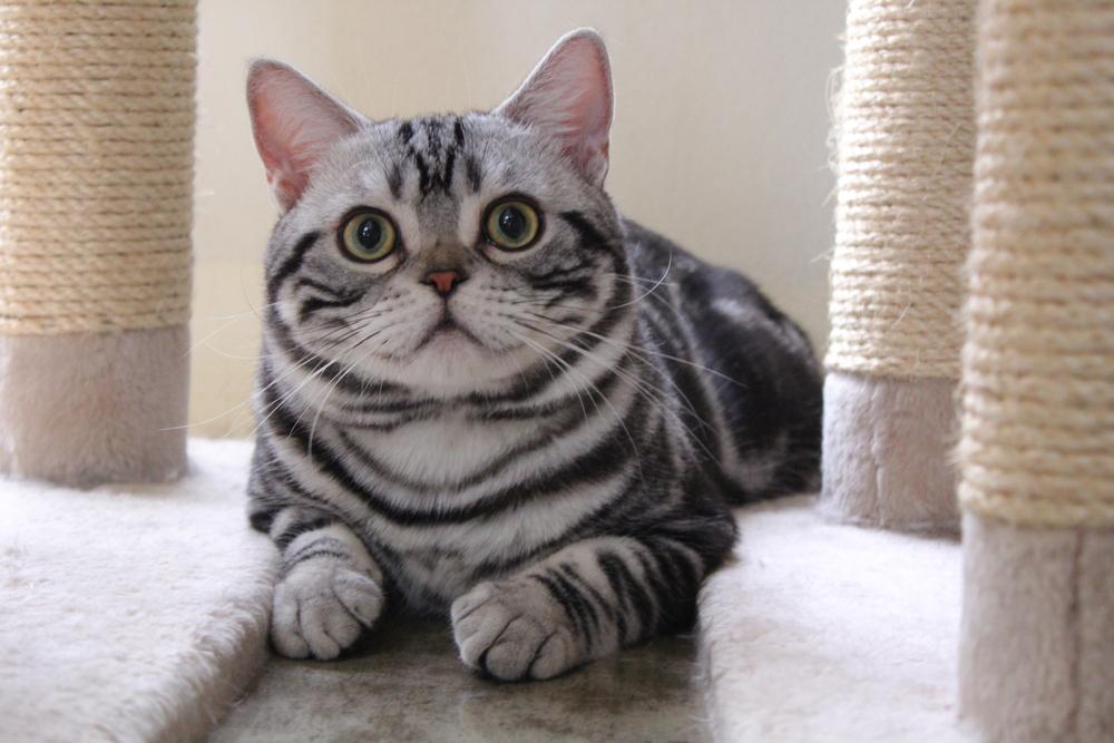 История происхождения американской короткошерстной кошки