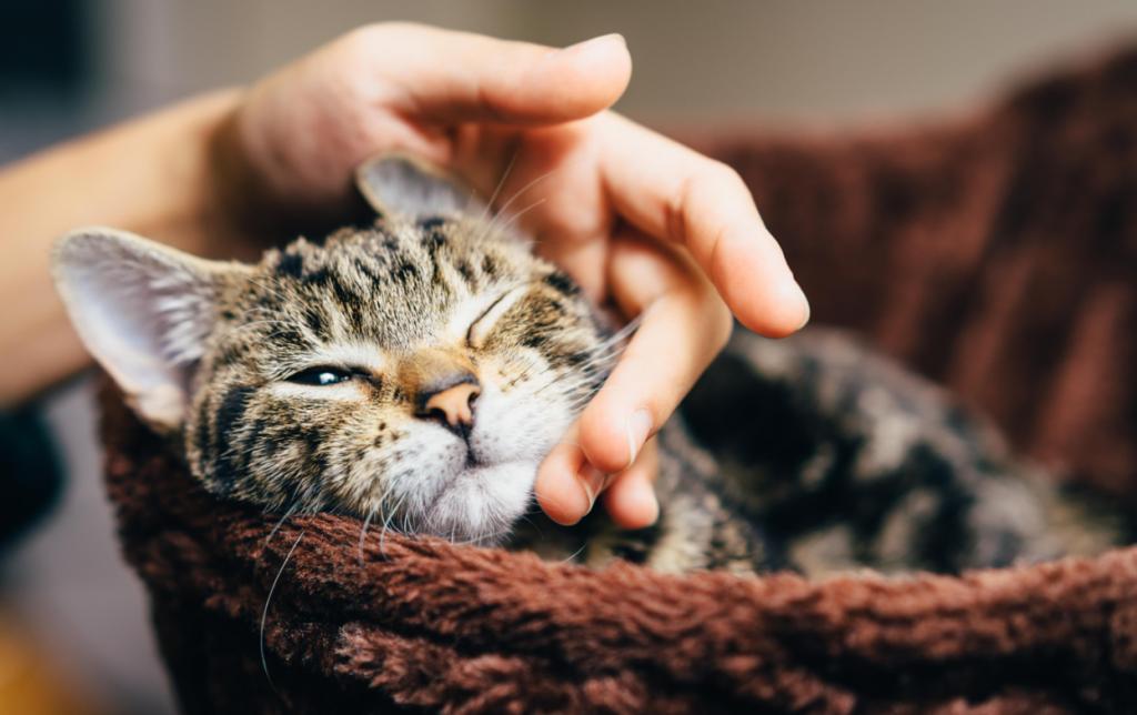 Как правильно выбрать средство против блох у кошки