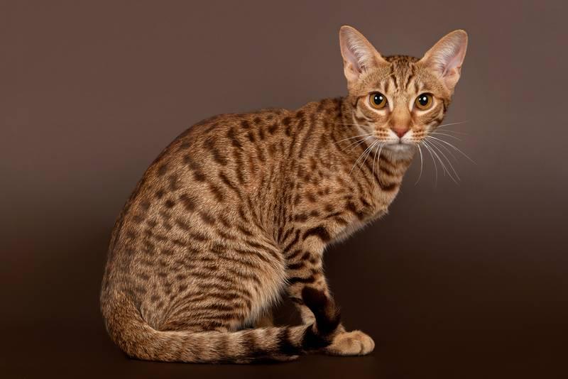 ТОП-10 самых злых пород кошек: оцикет