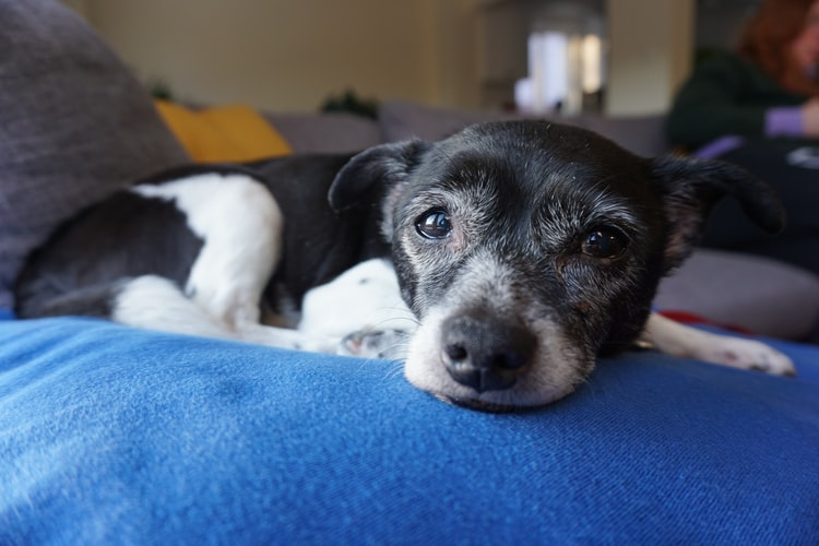 профилактика мутных глаз у собаки