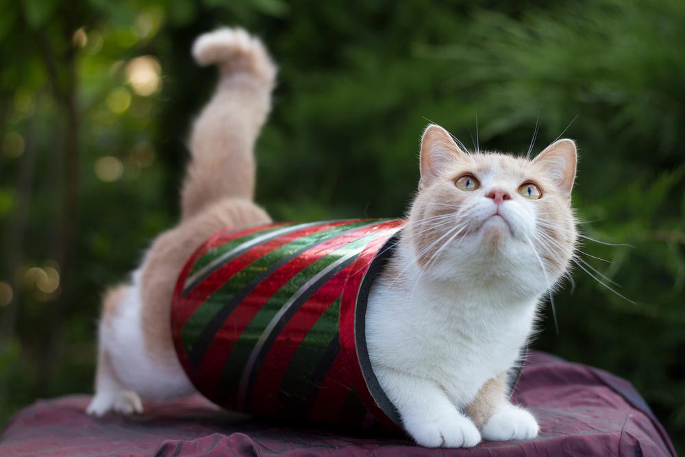 Закрепление и повторение при дрессировке кошки