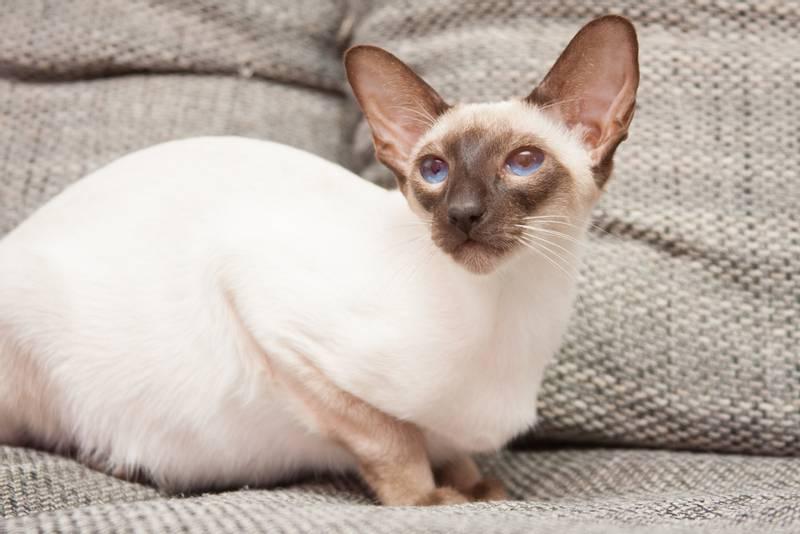 ТОП-10 самых злых пород кошек: сиамская