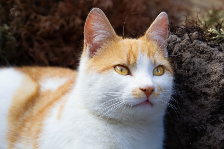 Чем мурлыкают кошки