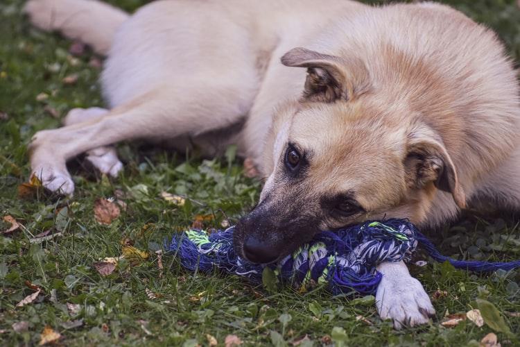 Что такое ложная беременность у собак