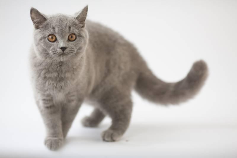ТОП-10 самых злых пород кошек: британская