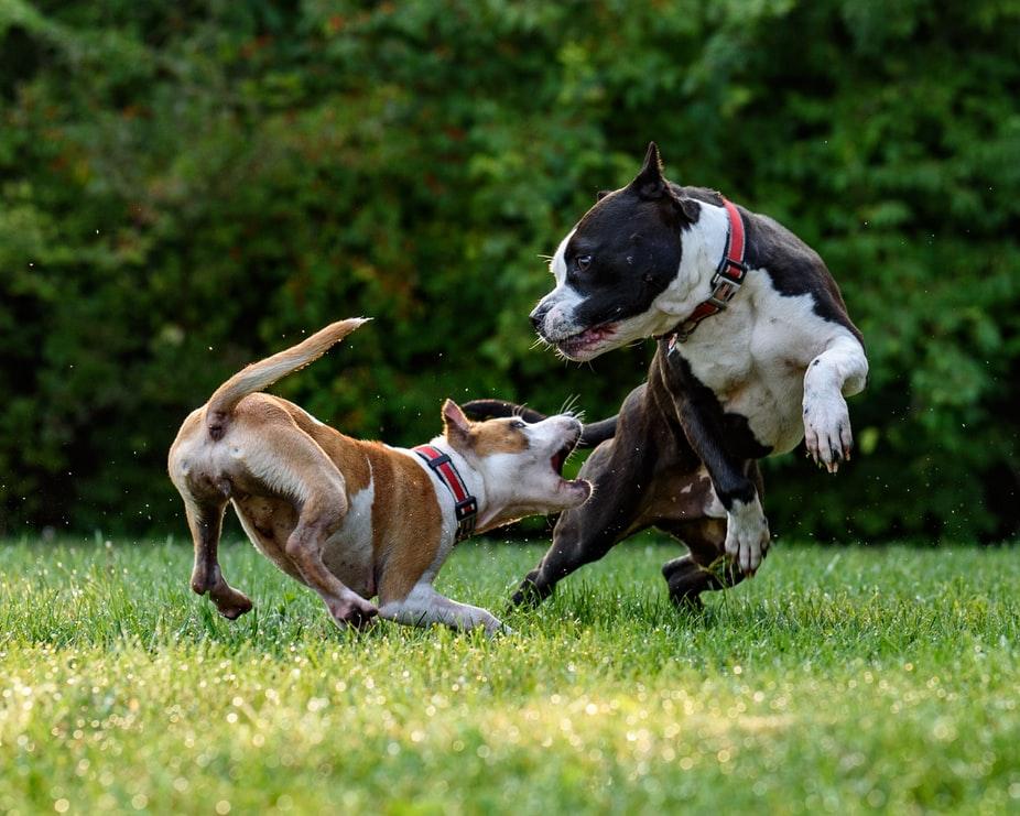 вязка собак средней породы