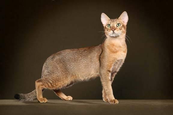 ТОП-10 самых злых пород кошек: чаузи