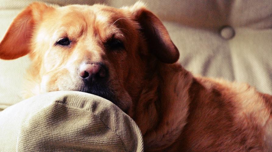 Уход за собакой с параличом задних лап