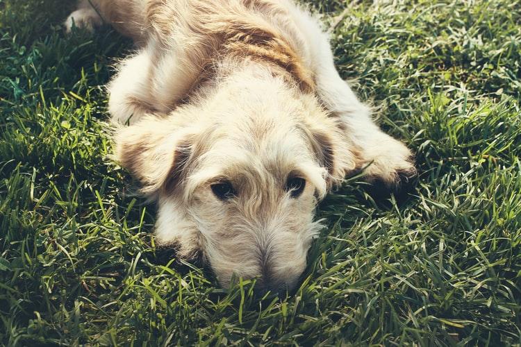 Осложнения при мастите у собак