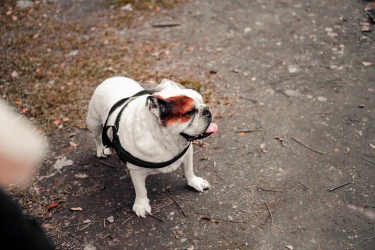 Почему трясутся задние лапы у собаки