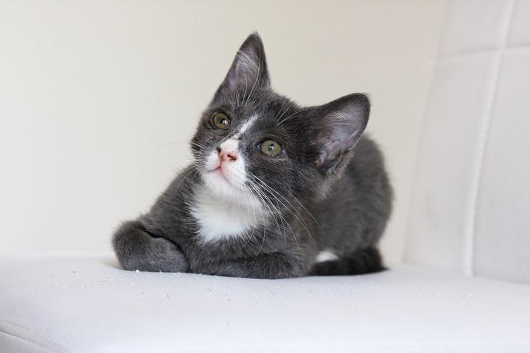 Профилактика против блох у кошки