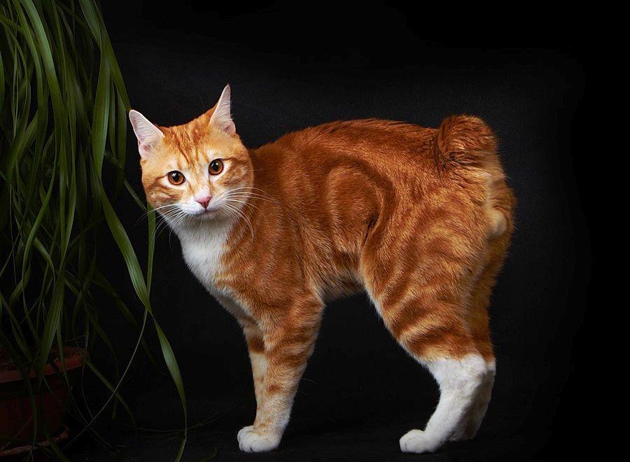 сюда воде картинки курильских бобтейлов кошек упоминает