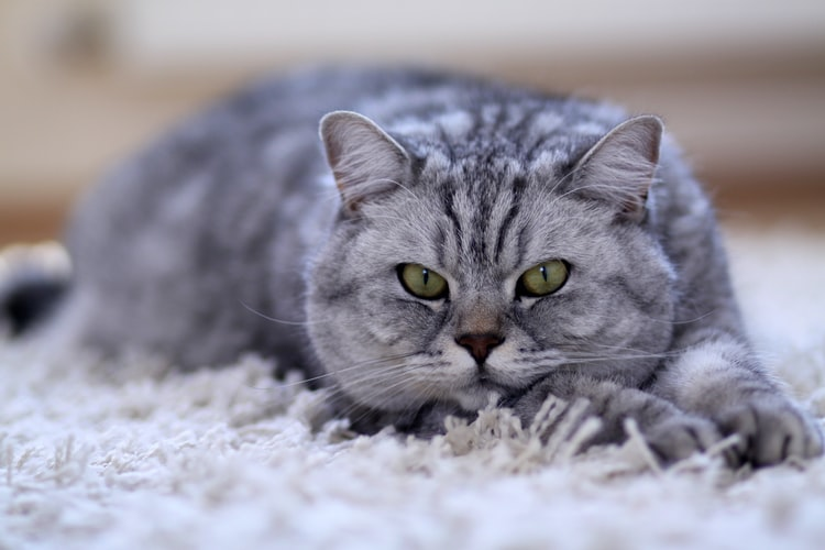 Ключевые факты о британской кошке