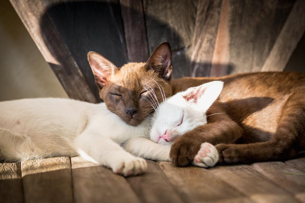 Какие породы кошек дружелюбны