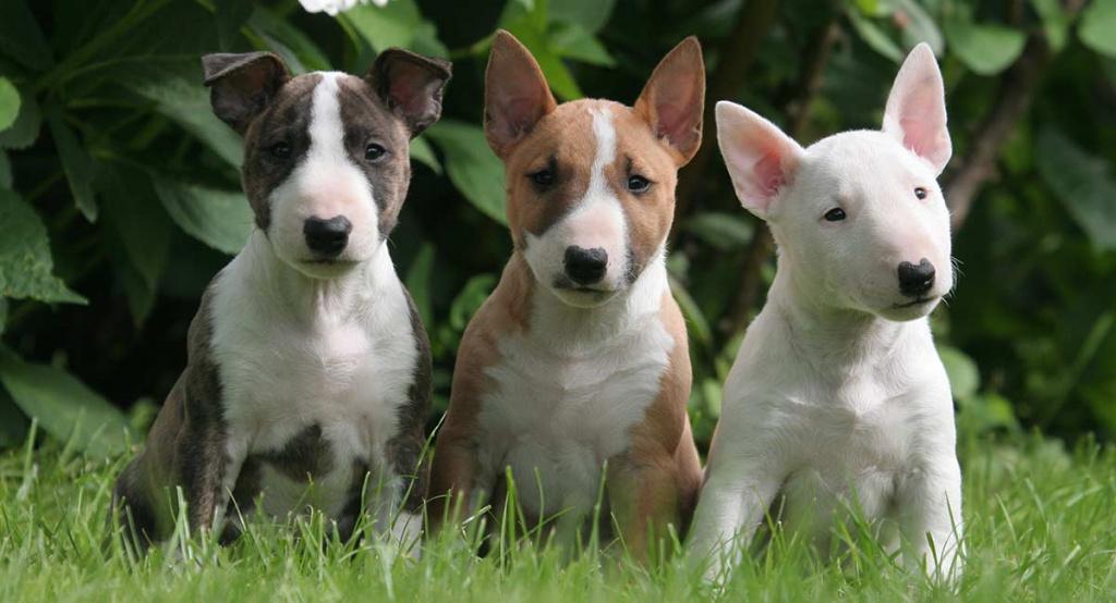 Советы по выбору щенка бультерьера