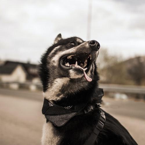 у собаки пахнет изо рта из-за проблем с дыханием