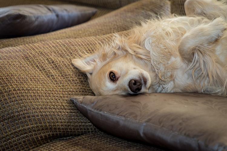 Разновидности трусов для собак во время течки