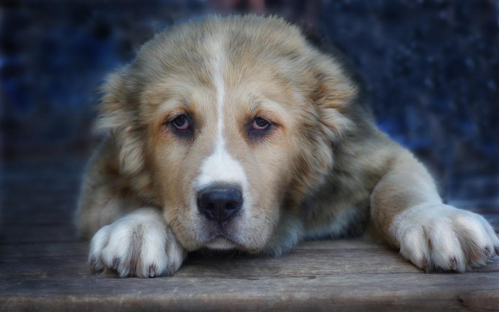 Топ лучших пород собак для охраны: алабай