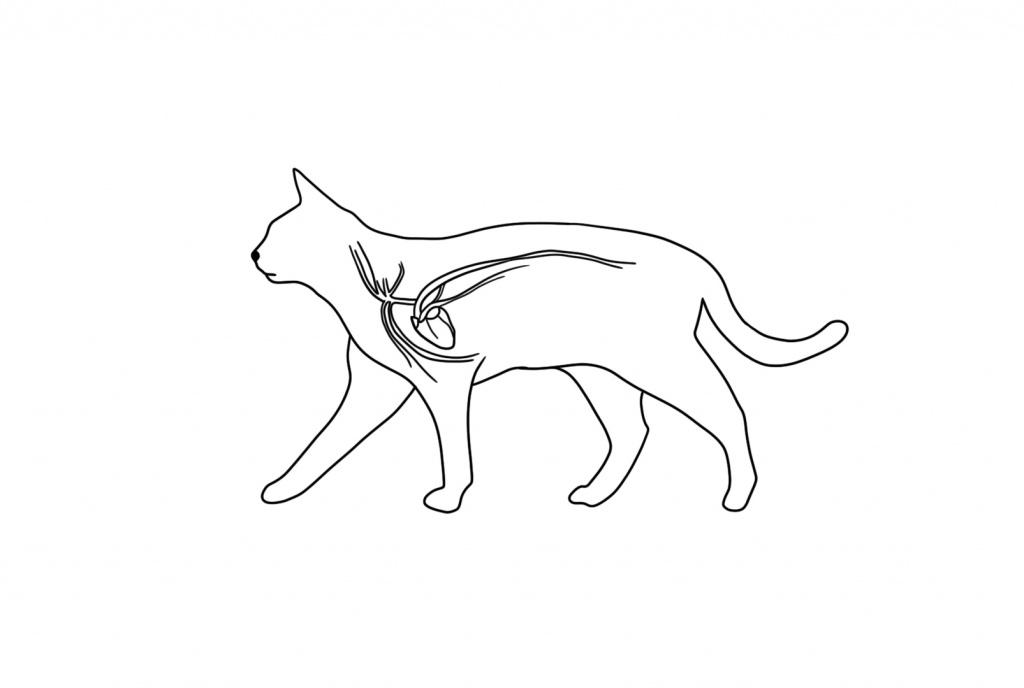 Сердечно-сосудистая система кошки