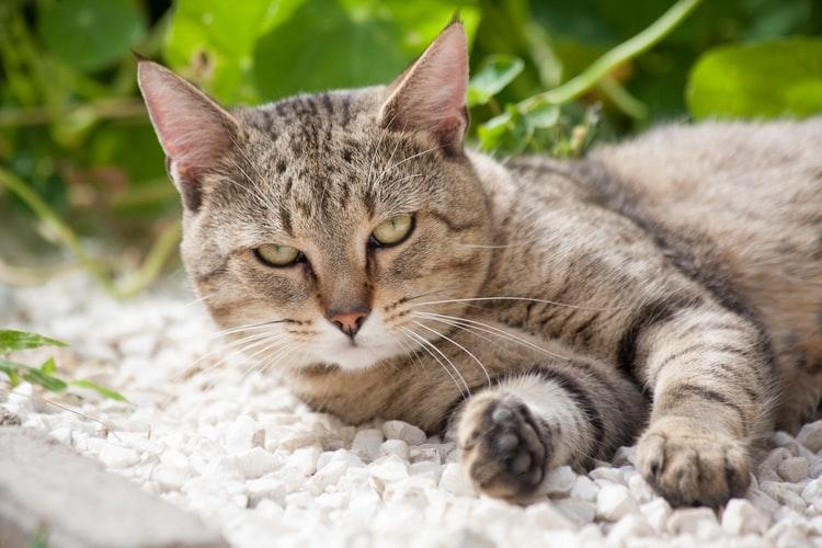 Болезни американской короткошерстной кошки