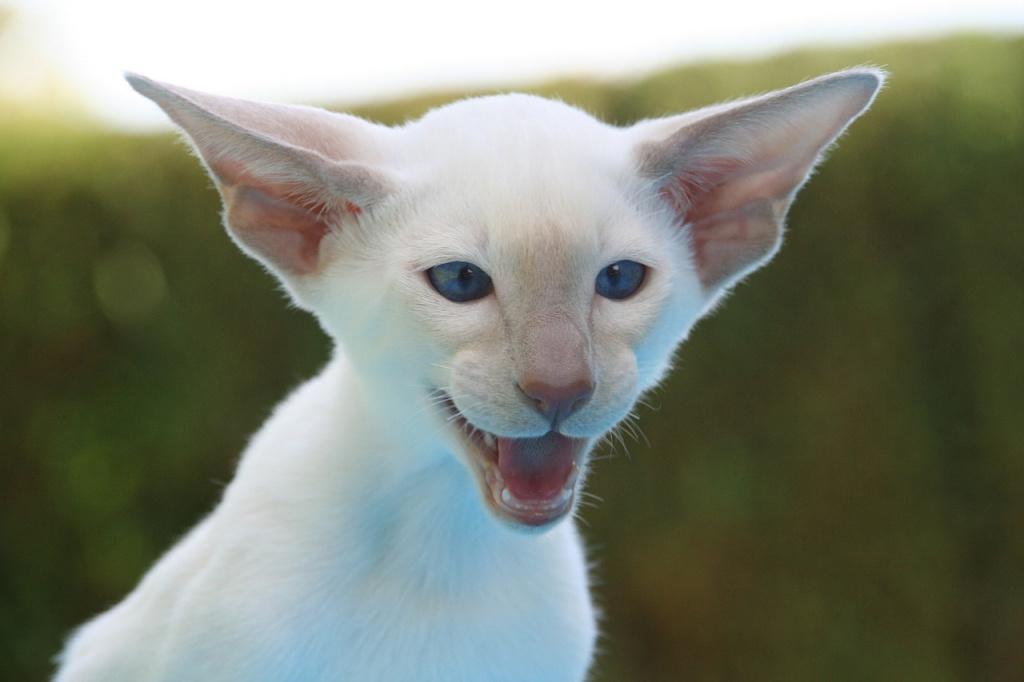 Почему кошки или коты плачут, мяукая