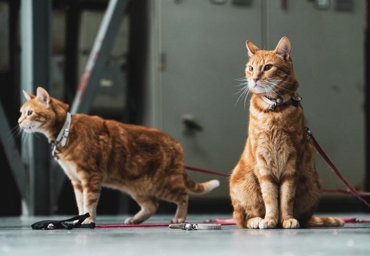 Как подружить двух взрослых котов