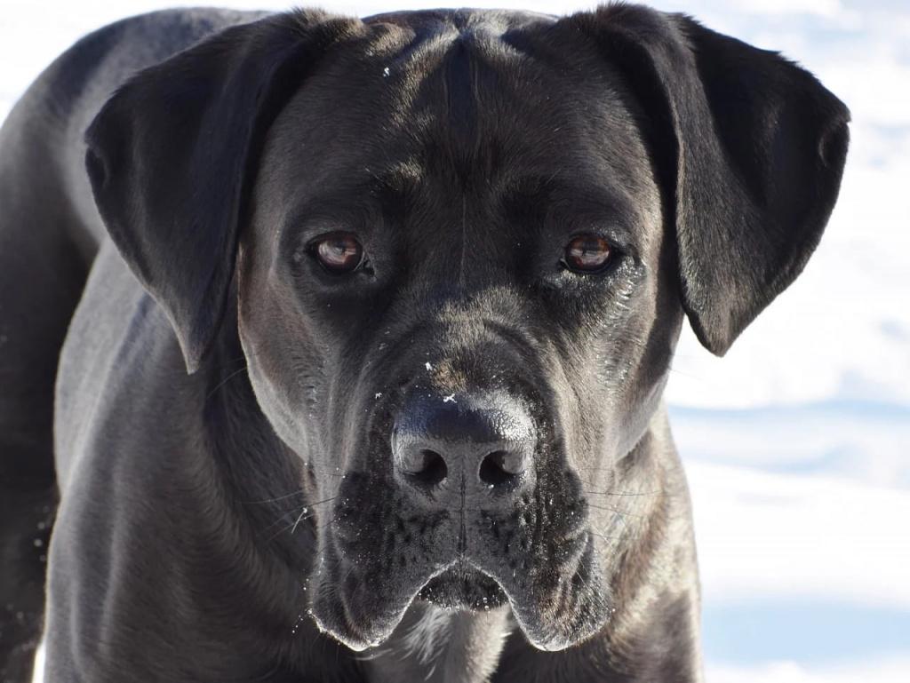 Топ лучших пород собак для охраны: кане-корсо