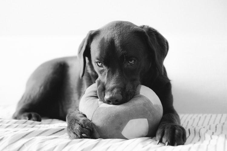 Собака лижет пол из-за стресса и болезни